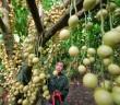 Du lịch miệt vườn- khám phá vườn cây ăn trái Cái Mơn Bến Tre
