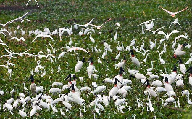 Tràm chim mùa nước nổi