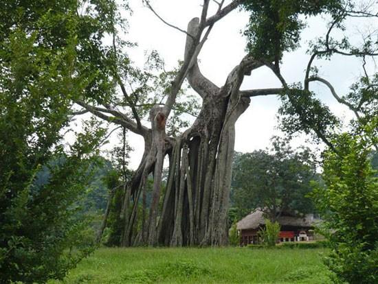 Cây cổ thụ tại vườn quốc giá Cúc Phương