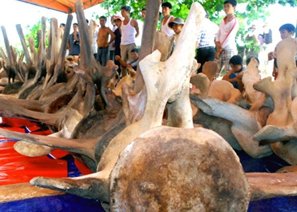 Bộ xương cá voi trước khi đựơc phục dựng - Ảnh: Sưu tầm